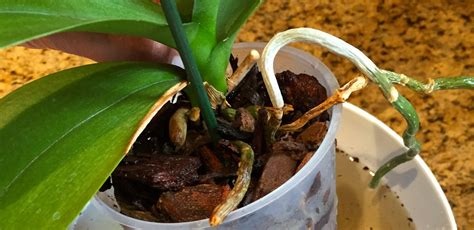 repotting orchids orchid care part i earthworm technologies earthworm technologies 174