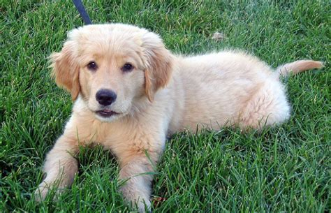 best puppies for families the best breeds of dogs for families family friendly search