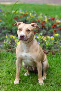 American Pit Bull Terrier | Dog Breed Gallery