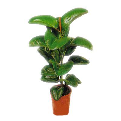 pianta verde appartamento italia in fiore invia pianta verde da appartamento