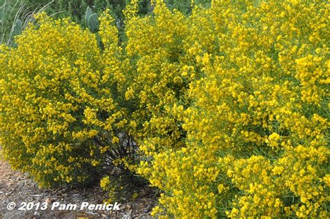 yellow flowering shrubs yellow flowering desert senna in san antonio diggingdigging
