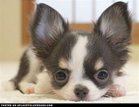 baby chihuahua puppies adorable baby chihuahua a place to dogs chihuahuas chihuahuas