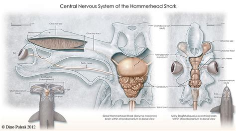 shark brain diagram windows on evolution puler 224
