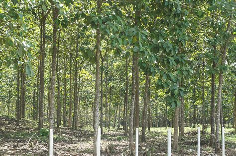 teak plantation finca 19 forwood ab invest in cultivated teak in panama