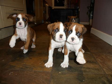 boxer puppies ta boxer sale ireland boxer puppies buy buy boxer breeders boxer dogs breed boxer