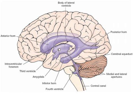 hippocus coronal section superior temporal lobe