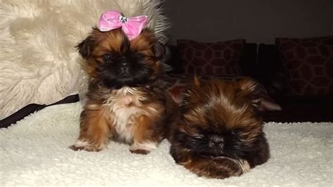 imperial shih tzu puppies karashishi imperial shih tzu puppies middlesbrough pets4homes