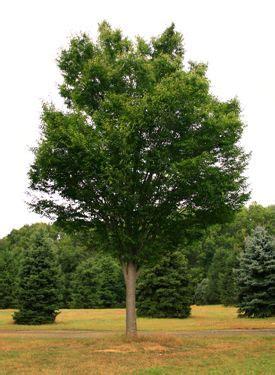 Zelkova Green Vase by Green Vase Zelkova Narrower Tree For Garden
