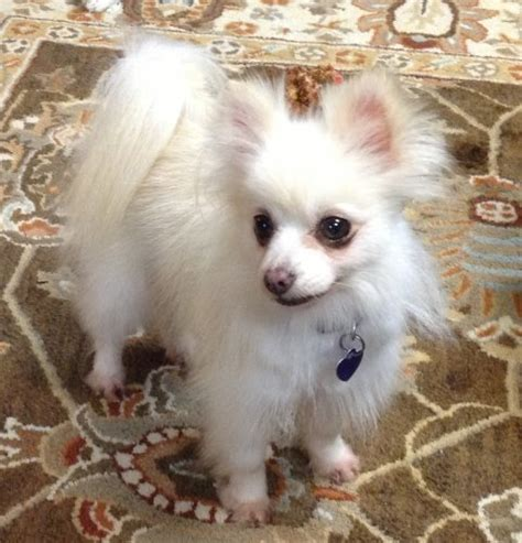 pomeranian small breed rescue small breed rescue of east tennessee breeds picture