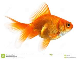 Colors That Match Brown profile of goldfish stock images image 12091984