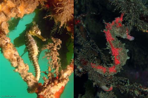 seahorse colors 60 spectacular seahorses and seadragons pics