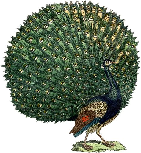 clipart image fabulous free domain peacock image the graphics