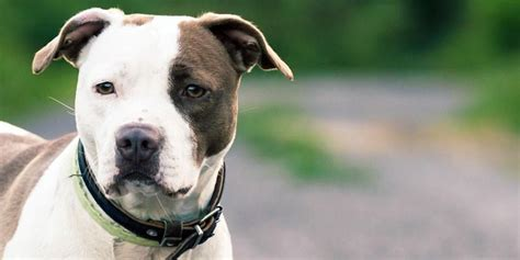 amstaff appartamento american pit bull terrier pictures posters news and