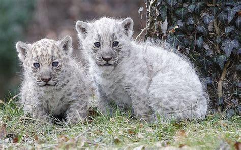 imagenes panteras blancas pantera blanca wiki reino animalia fandom powered by wikia
