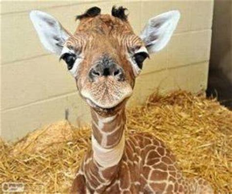imagenes de jirafas tumblr gry puzzles żyrafy