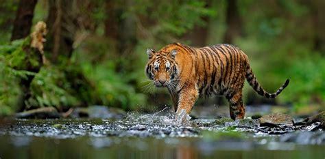 tigers confirmed   subspecies     big deal