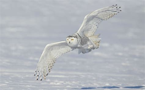 White Owl L Base by Wallpapers White Owl Wallpapers