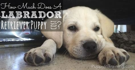 puppies cost how much does a labrador retriever puppy cost puppy in