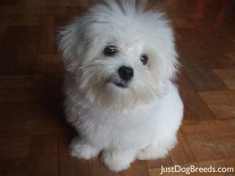 small white breeds photos small and medium breeds haired breeds breeds models