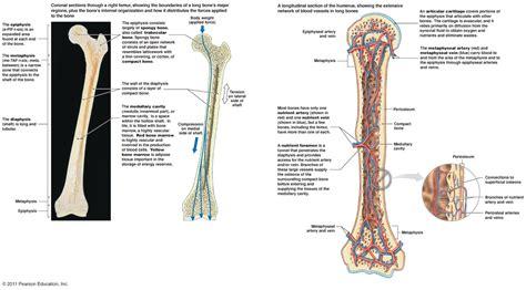 bone structure diagram the skeletal system