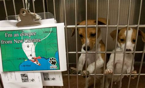 houston spca dogs houston spca takes in 70 animals from louisiana shelter houston chronicle