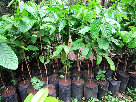 fruit tree for sale fruit trees for sale lanzones