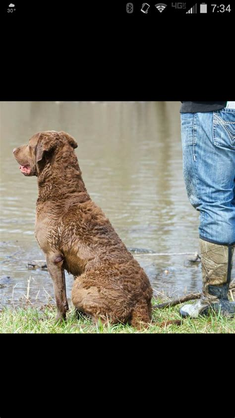chesapeake bay retriever coopers kids chessie stud  puppies arkansas