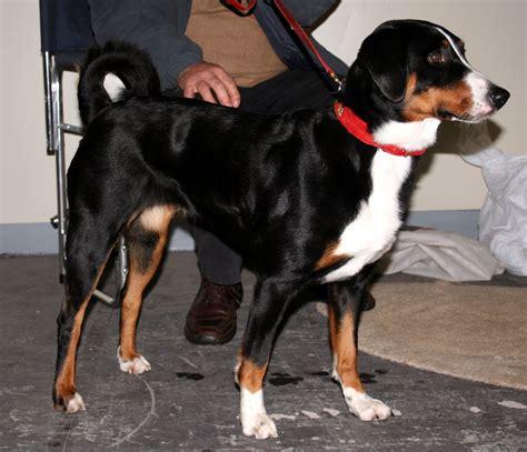 appenzeller sennenhund puppies appenzeller sennenhund puppies rescue pictures information temperament