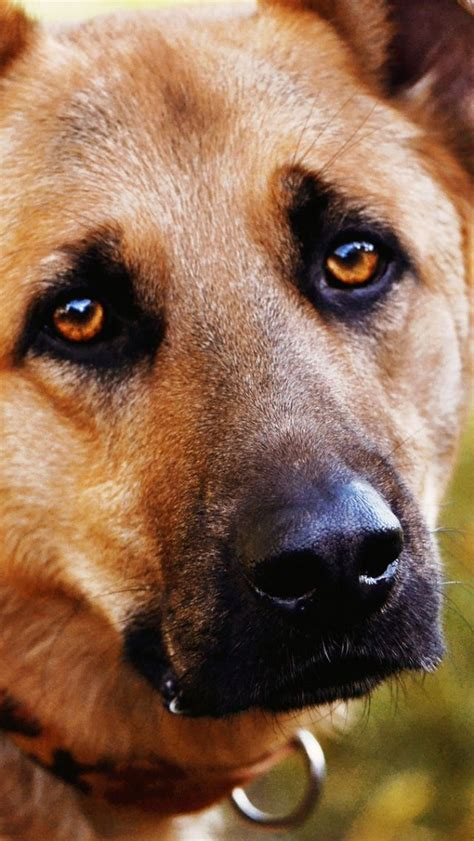 eye contact with dogs 1000 ideas about muzzle on supplies collars and harness