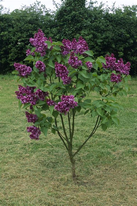lilac tree lilac tree types images