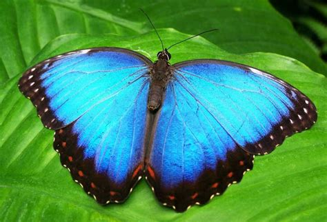 imagenes de mariposa ulises blue morpho butterfly facts information pictures video