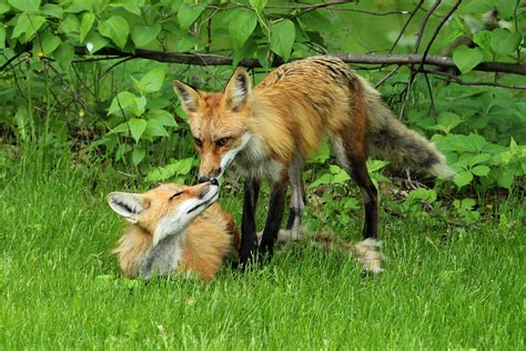 fox in backyard 301 moved permanently