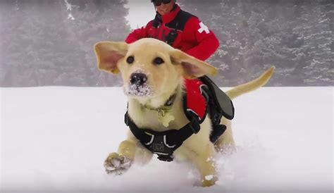 puppies rescued from avalanche this adorable patrol puppy is vail s newest avalanche rescue the inertia