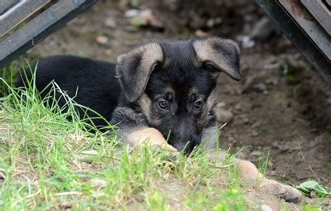 pups schemel meet misha and seven pups german shepherd rescue of
