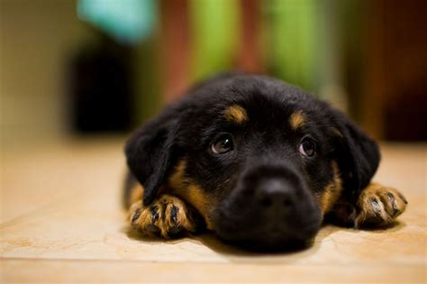 rottweiler information in rottweiler information names my home i dogs