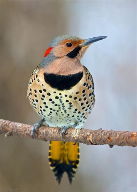 northern flickers a place in the world