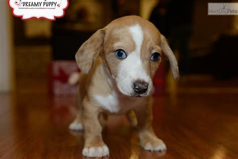 miniature puppies for sale near me dachshund puppies for sale near me