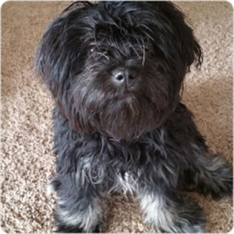 shih tzu mixed with yorkie for sale black shih tzu yorkie mix www pixshark images