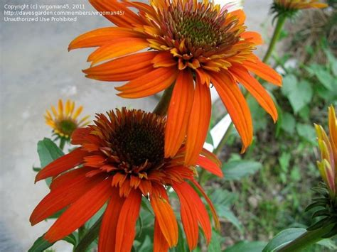 lowes in paducah ky plantfiles pictures echinacea hybrid coneflower