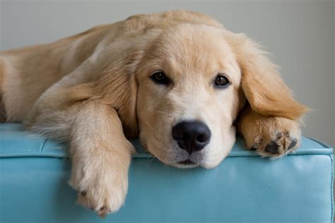 golden retriever coat stages golden retriever names dogtime