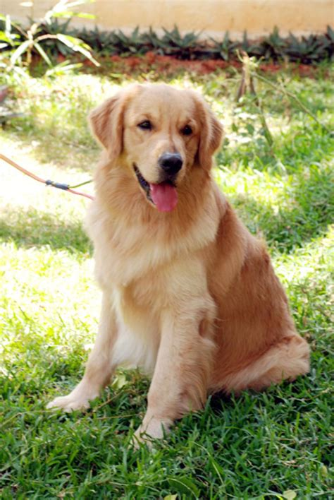 price of golden retriever puppy golden retriever puppies for sale barath kumar ravi 1 913