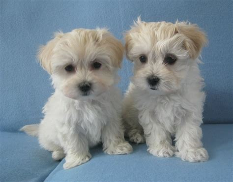 havanese puppies for sale in colorado springs havanese pictures and photos 13 breeds picture
