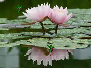 Lotus Flower On Water Peaceful Lotus Flower In The Water Screensaver