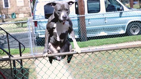 how to keep dog from jumping fence dog jumps humps fence funnydog tv