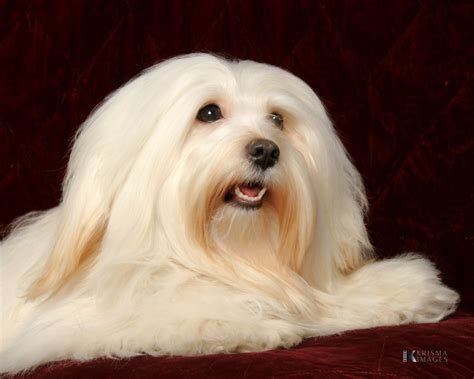 happy paws havanese here are bailey s professional photos taken the day she became an akc chion photos
