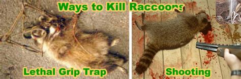 kills raccoon how to kill a raccoon