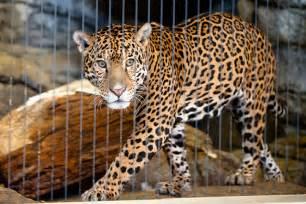 Jaguar Park Jaguar 2 Lincoln Park Zoo Chicago Jpg Flickr Photo