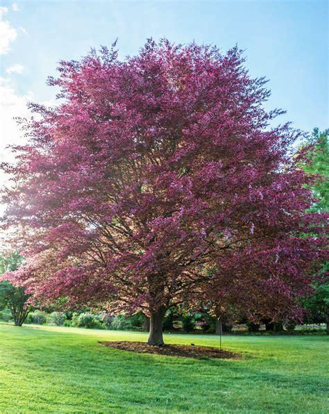 tri color beech tree problems tricolor beech fagus sylvatica purpurea tricolor or