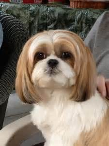 pictures of shih tzu haircuts pinterest the world s catalog of ideas