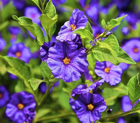 shrub flowers blue solanum shrub israel beyond